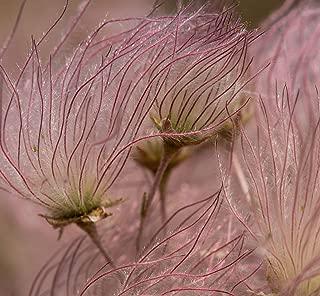 Fallugia paradoxa | Apache Plume | Perennial to Zone 4 | 50+ Seeds