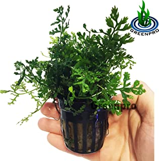 bolbitis plant
