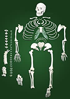 Vision Scientific VAS220-A Life Size, Total Disarticulated Human Skeleton | Bones & Osteological Features Numbered for Identification | 3-Part Skull | Key to Numbered Structures W Manual