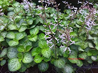 "PLECTRANTHUS - Emerald LACE - Swedish Ivy - SEMI Trailing - 1 Plant - 3"" Pot"
