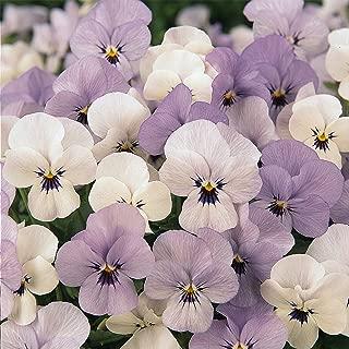 viola sorbet purple