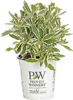 Proven Winners WEIPRC1117800 My Monet Effect Live Shrub, 4.5 in. Quart, Purple Flowers