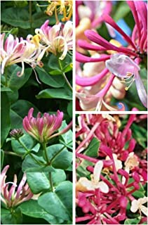 Belgica Honeysuckle Seeds UPC 600188197198 + 2 Free Plant Markers (120)