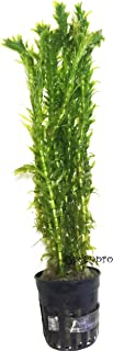 Greenpro Anacharis | Waterweed Egeria Elodea Densa Potted Live Aquarium Plants Decorations Freshwater Fish Tank