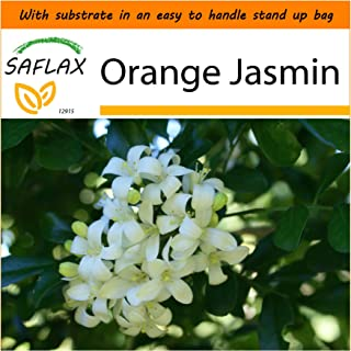 SAFLAX - Garden in The Bag - Orange Jasmin - 12 Seeds - Murraya paniculata syn. Exotica