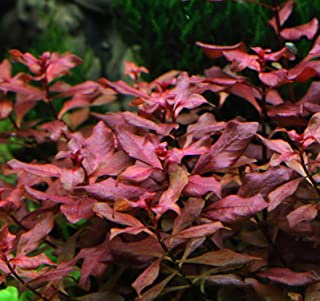 New Ludwigia sp. Mini 'Super Red' Live Aquarium Freshwater Plants Rare Repens Rubin