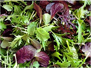 1000+ Mustard Mix Seeds ORGANICALLY Grown 15 Varieties Non-GMO Delicious and Healthy, Grown in USA. Perfect for Salad, Baby Greens or microgreens!