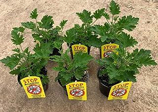 Planta Antimosquitos-Citronella-Pack 6 Plantas - Geranio (Pelargonium Graveolens)-Planta Aromática-Planta Natural- 13 cm...