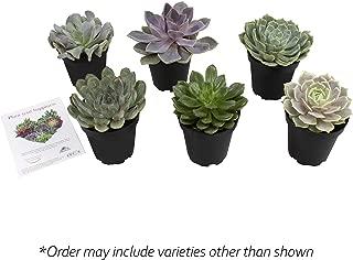 Altman Plants Assorted Live large Flowering Succulents Wedding Echeveria, party favor, arrangements, centerpieces, 3.5