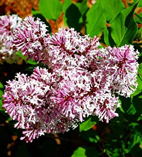 Miss Kim Manchurian Dwarf Lilac - Syringa - Outdoors/Bonsai - 4