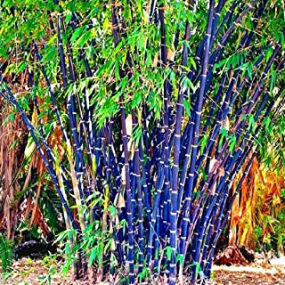 Iekofo Seed house - 100 Pieces Exotic Hardy Bamboo Seeds 'Chinese Wonder' Red/Golden/Black / 'Blue Dragon' / Bamboo Ornamental Plants Perennial for Your Home and Garden