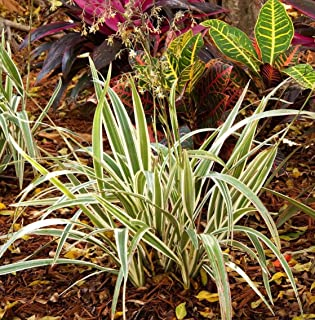 CROSO HIGH Germination Seeds ONLY NOT Plants: Variegated Flax Lily - Dianella 'Variegata' -1 Seeds - 8