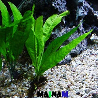 Mainam Java Fern Microsorum Pteropus Potted Freshwater Easy Tropical Live Aquarium Plant Decorations 3 Days Guarantee