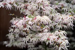 variegated dwarf japanese maple