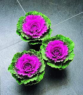 Best cabbage songbird red Reviews