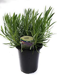 Findlavender - Provence French Lavender - Potted - Very Fragrant - Qt. Size Pot - 1 Live Plant