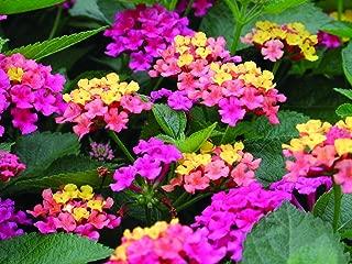 Two Live 4 inch Lantana 'Anne Marie' PP 11,310 Multi-Color Flowers. 4 Plants, 2 per Pot.