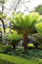 1 Live Plant - Tasmanian Tree Fern Dicksonia Antarctica