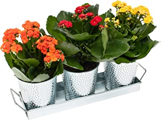 Saratoga Home Galvanized Planter Pots - Set of 3 Indoor Planters with Drainage and Tray - Perfect for All Small House Plants, Herbs, African Violets and Succulents