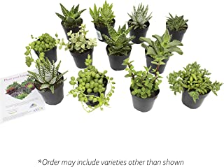 Altman Plants Assorted Live Succulents Desk Buddy Collection Easy care plants for Indoor, Office, Kitchen, 2.5