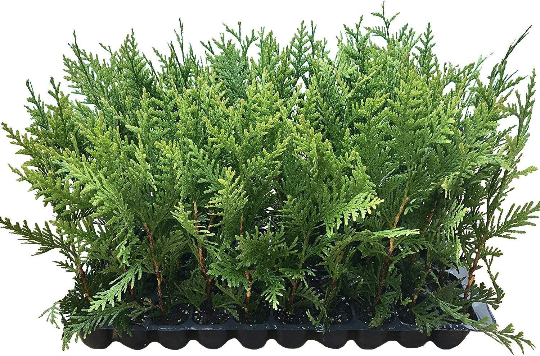 Thuja Green Giant Arborvitae 限定特価 - 5 返品送料無料 Size Trees 2