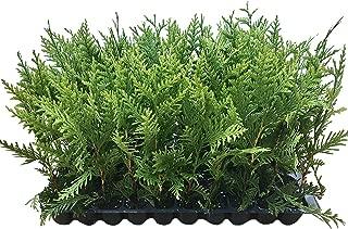 Best green giant arborvitae fertilizer Reviews