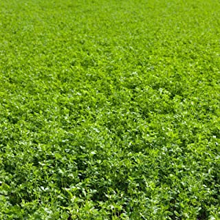 Non-GMO Alfalfa Seeds - 1 Lbs - High Germination, Conventional Seed - Gardening, Cover Crop, Field Growing, Food Storage &...