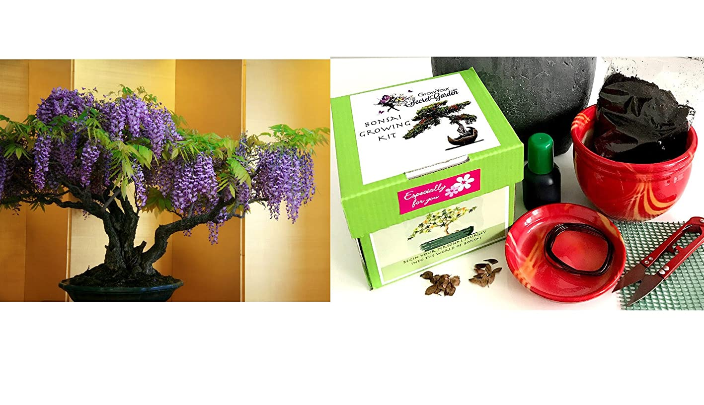 Premium Wisteria Bonsai Kit- 9 Pieces - AlluNeed in 1 BOX- Includes ceramic pot&tray- Excellent as a gift sjvqrtdhtkz726