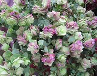 Ornamental Oregano Round-Leaved Origanum Rotundifolia Seeds / Perennial