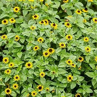 Creeping Zinnia seeds - Sanvitalia procumbens