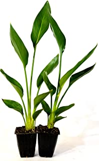 orange bird of paradise plant for sale