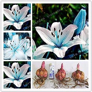 発芽種子:2個の球根:ブルーハートユリの球根、種子はない、珍しい花工場、青いユリの花