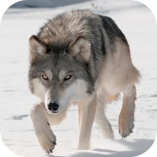 Wild Wolf Attack Simulator 3D