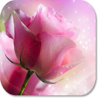 Pink Rose HD Wallpapers