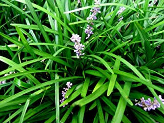 25 Monkey Grass Plants, Liriope, Bare Root Plants, Evergreen Border Plants