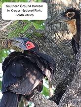 Clip: Southern Ground Hornbill in Kruger National Park, South Africa