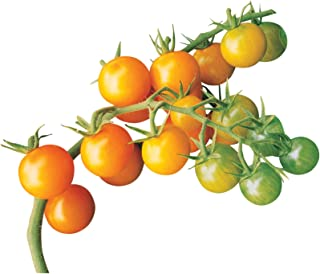 Best suncherry tomato seeds Reviews