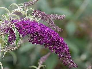Live Butterfly Bush (Dwarf) aka Buddleia dav. 'Nanho Purple' Plant Fit 1 Gallon Pot