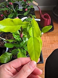kaffir lime nursery