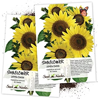 Seed Needs, Lemon Queen Sunflower (Helianthus annuus) Twin Pack of 80 Seeds Each