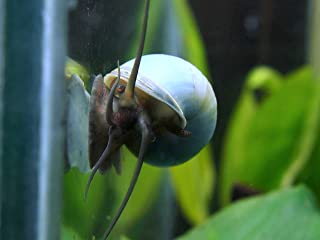 Best blue mystery snail Reviews