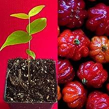 Surinam Cherry RED Eugenia Uniflora Pitanga Plant Fruit - No resinous Aftertaste