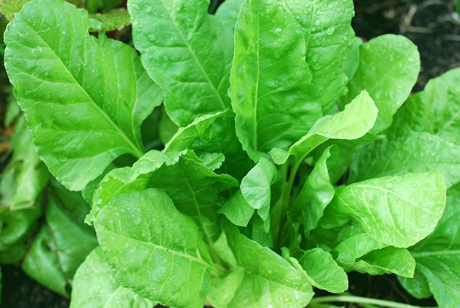 RAJ GARDEN PLANTS Spinach Seeds,Palak Beej,पालक के बीज - MultiCut- (50  Grams) with Free (Green Choulai Seeds 50 Grams and Vegetable Coriander  Seeds 50 Gram) : Amazon.in: Garden & Outdoors