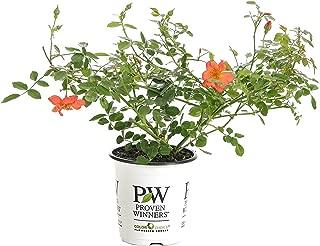 Oso Easy Hot Paprika Landscape Rose (Rosa) Live Shrub, Orange Flowers, 4.5 in. Quart