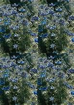 Nigella Miss Jekyll Dark Blue Annual Flowers Seeds 5,000 Pcs an