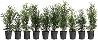 green giant arborvitae trees for sale