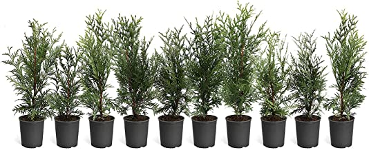 Best growing thuja green giant Reviews