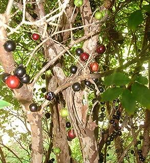 1 Jaboticaba ~ Pilinia Cauliflora Brazilian Grape Fruit Tree Live Potted Plant WCRF34