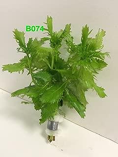 Exotic Live Aquatic Plant For Fresh Water Aquarium Hygrophila difformis Bundle B074 By Jayco **Buy 2 GET 1 FREE