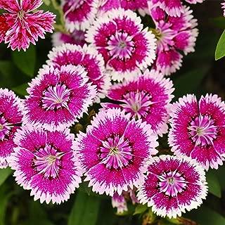 dianthus floral lace violet